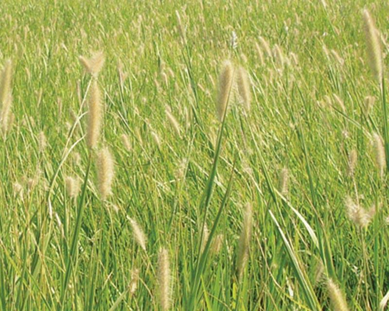 Buffel Grass Biloela x 5Kg