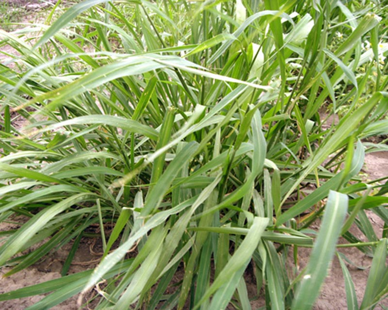 Panicum Maximun Tanzania (P) x 20Kg